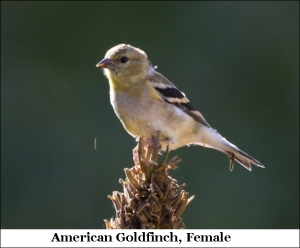 Stacy American Goldfinch Female