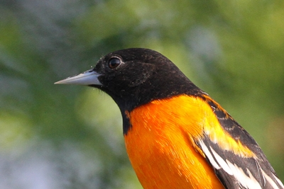 Baltimore Oriole - Photo by John Graffius