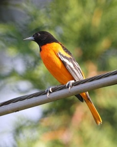 Graffius Oriole 4 small