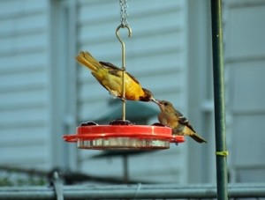 Oriole Father feeding baby