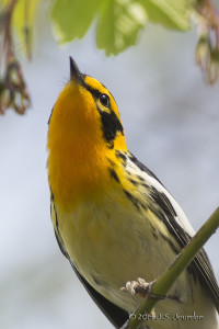 BlackburnianWarbler_Jourdan (1)