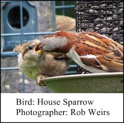 Rob Wiers Sparrow 2