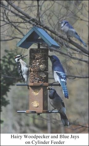 Hairy Woodpecker and Blue Jays