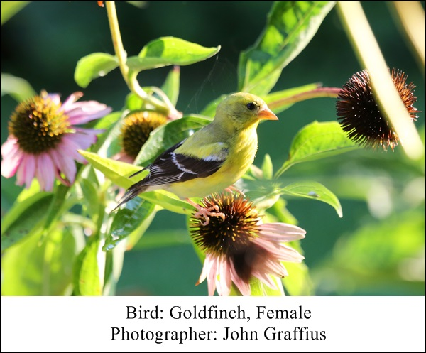 goldfinches john graffius 1