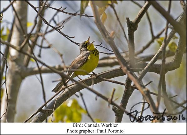 canada-warbler-singing