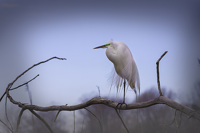 Snag - Egret on a snag 2