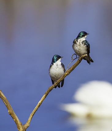 Snag - Tree Swallows on a snag-crop