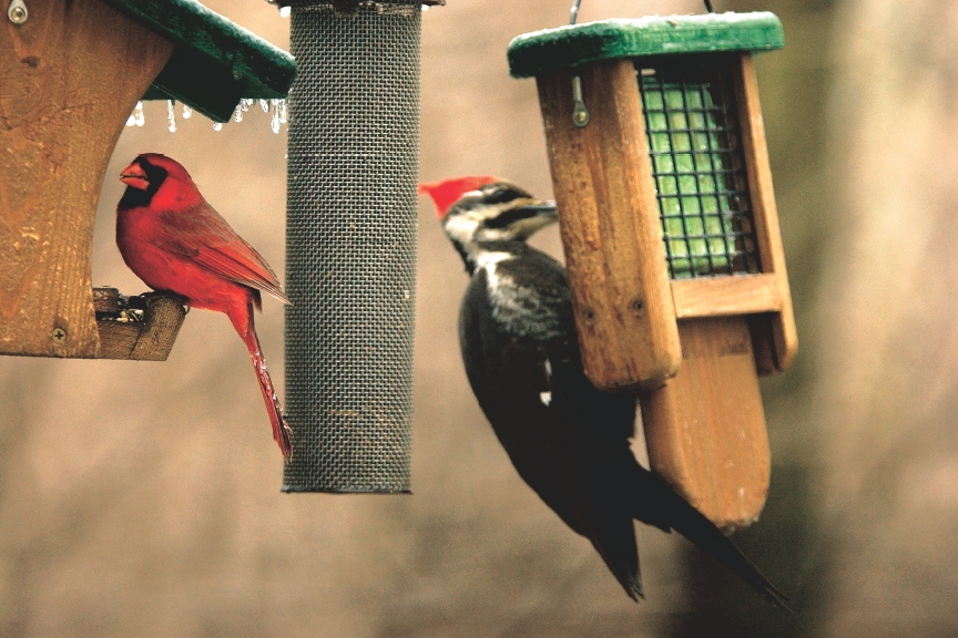 Cardinal on Hopper Feeder and Pileated Woodpecker on suet.