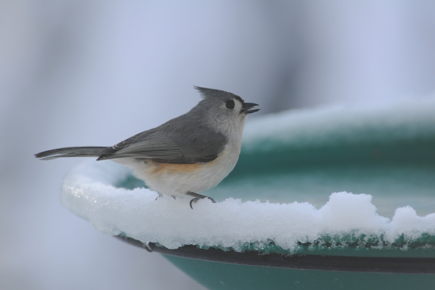Tufted Titmouse on Bird Bath