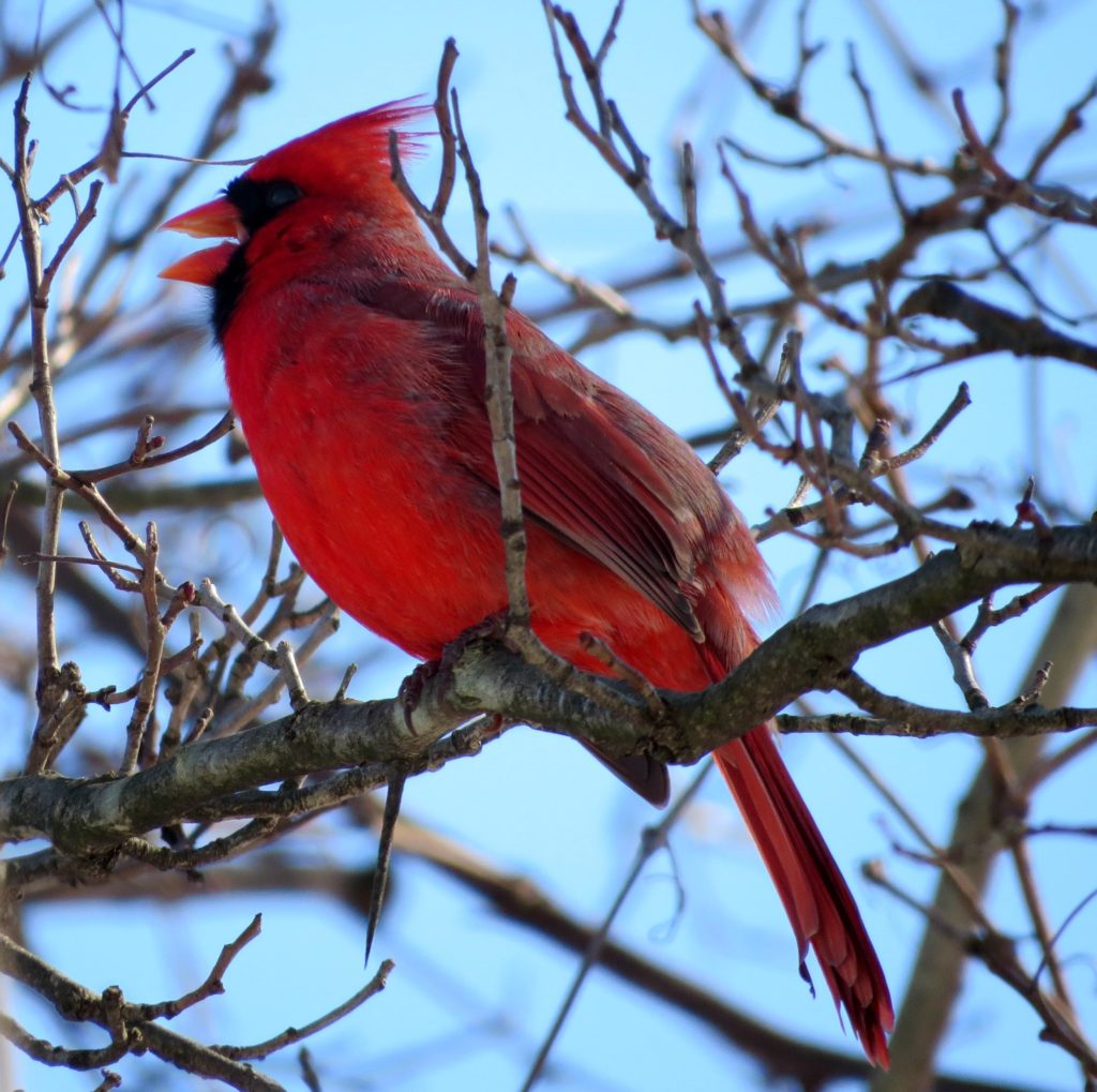 What does bird song mean spring northern cardinal by andrea rose buycottarizona