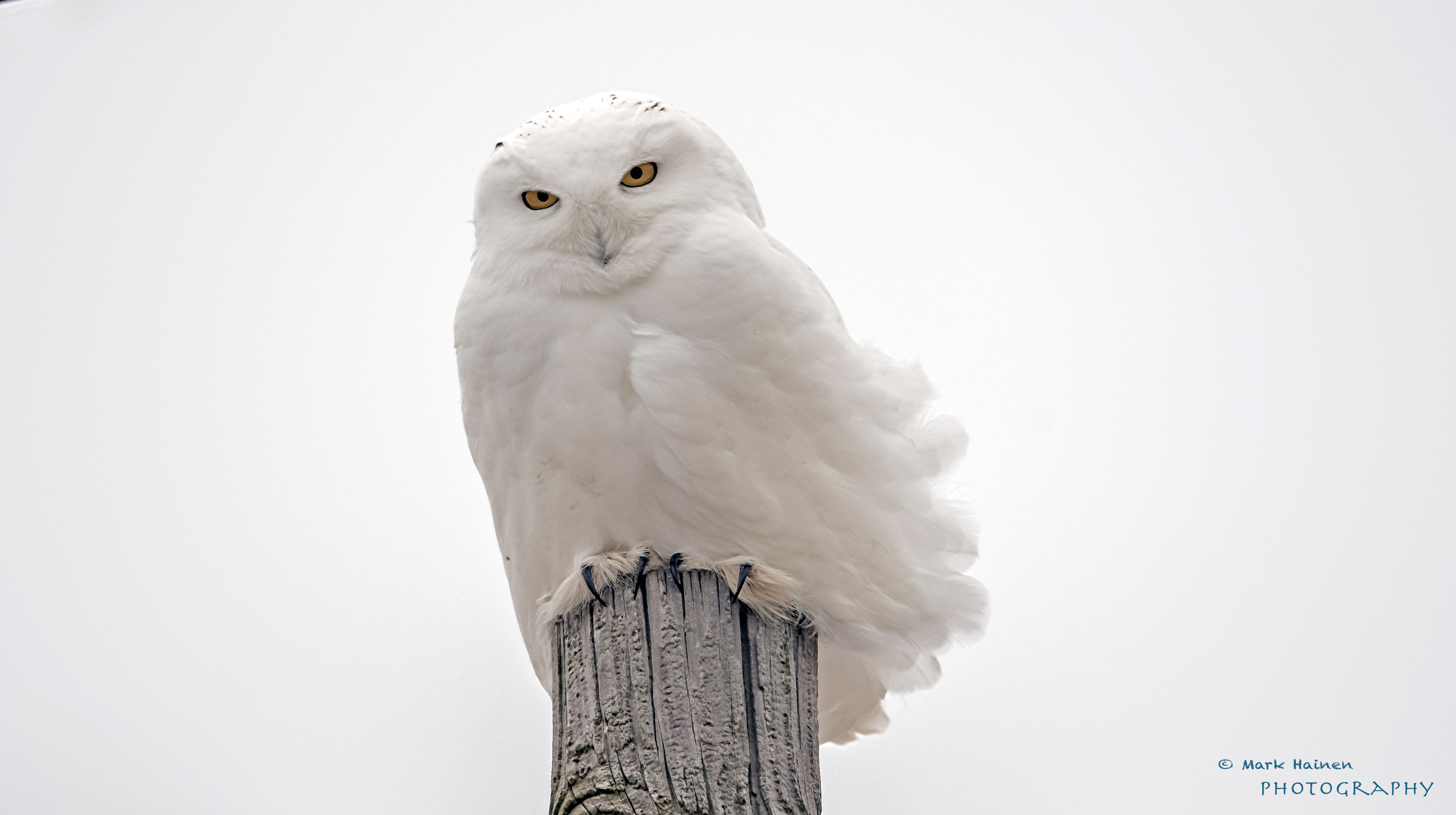 Its going to be a snowy owl winter biocorpaavc Choice Image