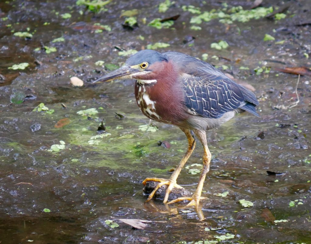 Green Heron Making Itself At Home Along >> Wild Bird Facts Archives