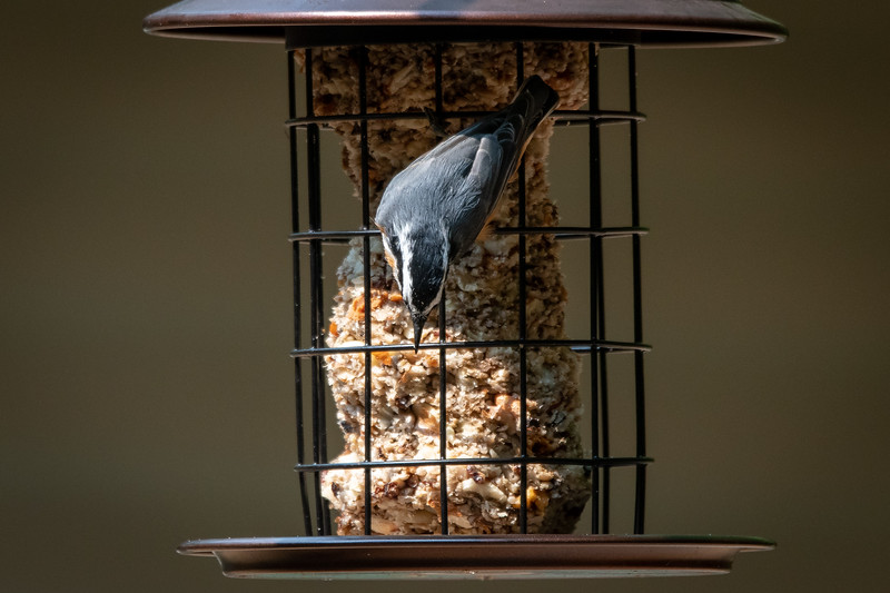 Red Breasted Nuthatch Chooses The Perfect Seed Photo By Lisa Vreede